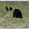 Bears in Boynton Canyon? O my!