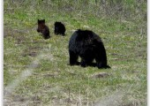 Bears in Boynton Canyon? O my!